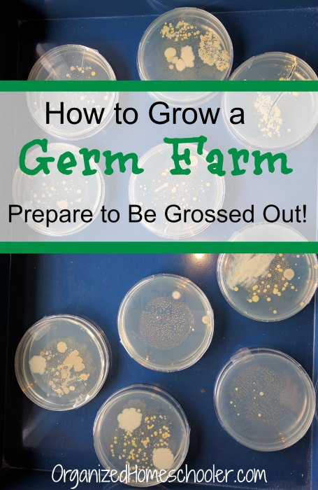 This bacteria science experiment will help you grow your very own germ farm. Follow these simple steps to culture various surfaces and try to grow bacteria. The results were shocking! This would be a great science fair experiment entry or a hands on biology lesson. #bacteria #scienceexperiment
