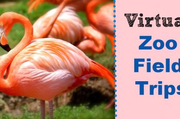 Flamingos with the words virtual zoo field trips